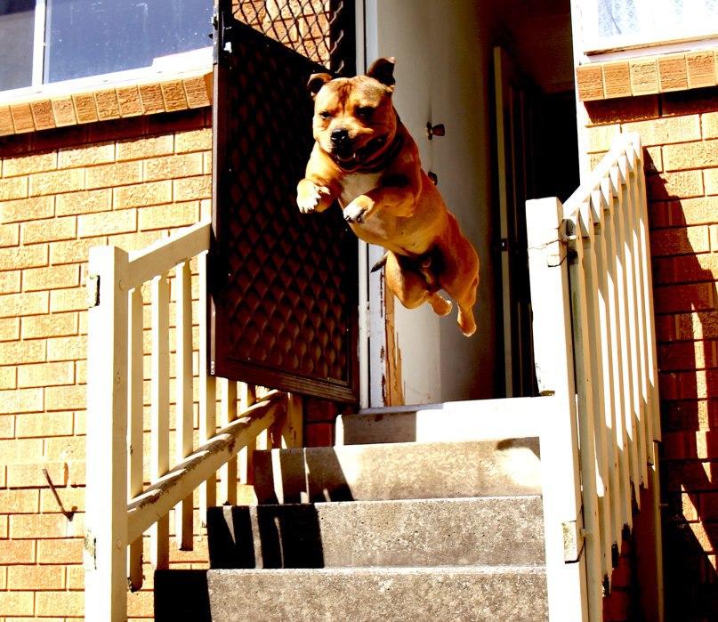 Dog-Running-Out-Door