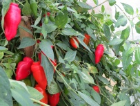 chillies1