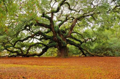 oak-tree-image
