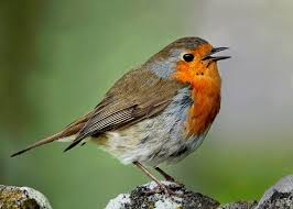 Image result for robin singing